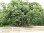 The_Major_Oak1