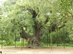 The_Major_Oak2