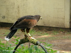 striated_caracara1